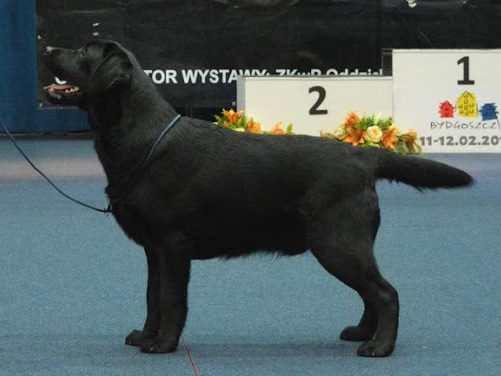 Night Dog Show in Bydgoszcz 11-12.02.2017 - junior class, 1st, Junior Winner