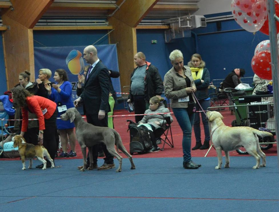 Night Dog Show in Bydgoszcz 11-12.02.2017 - champion class, 1st, CAC, Bets Female, BOB, BOG