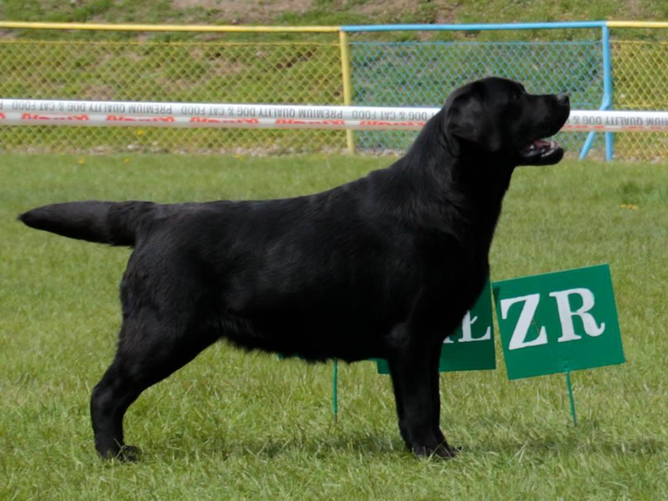 National Dog Show in Inowrocław 2017 - junior class, 1st, Junior Winner, BOB Junior, BOB
