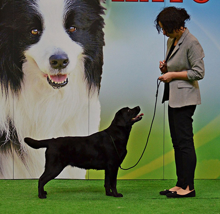 National Dog Show in Katowice 19.03.2016 - junior class,1st, Junior Winner